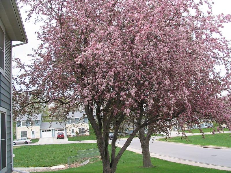 1 Crabapple Tree