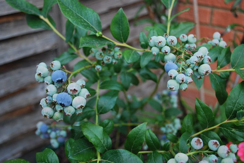 5 Blueberries