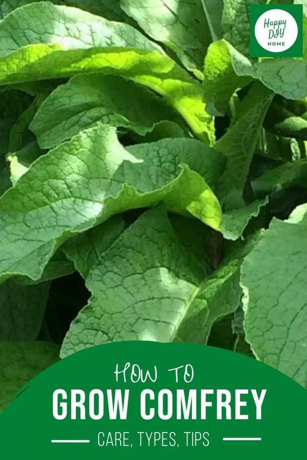 How to Grow Comfrey 4