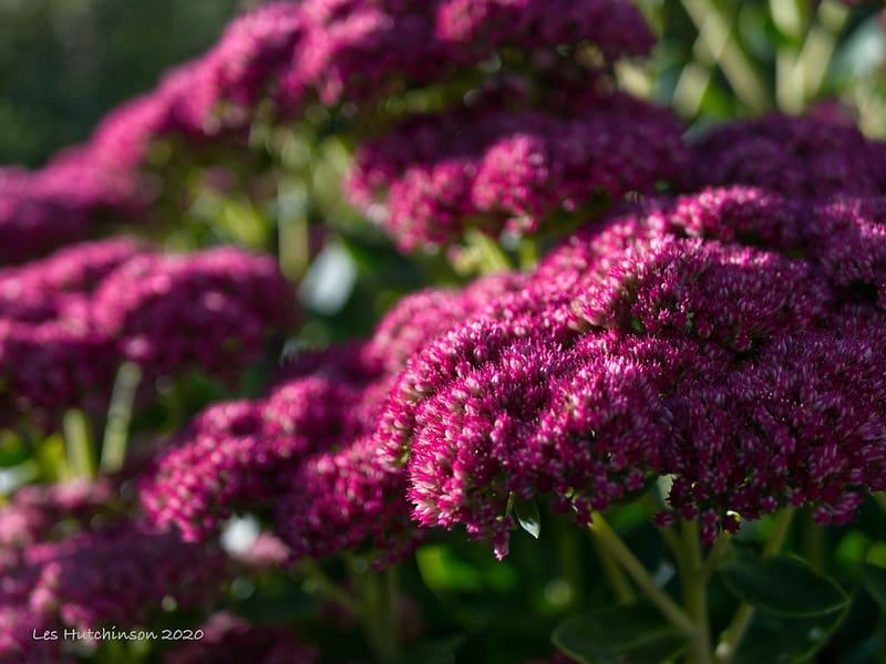 1 Autumn Joy Sedum