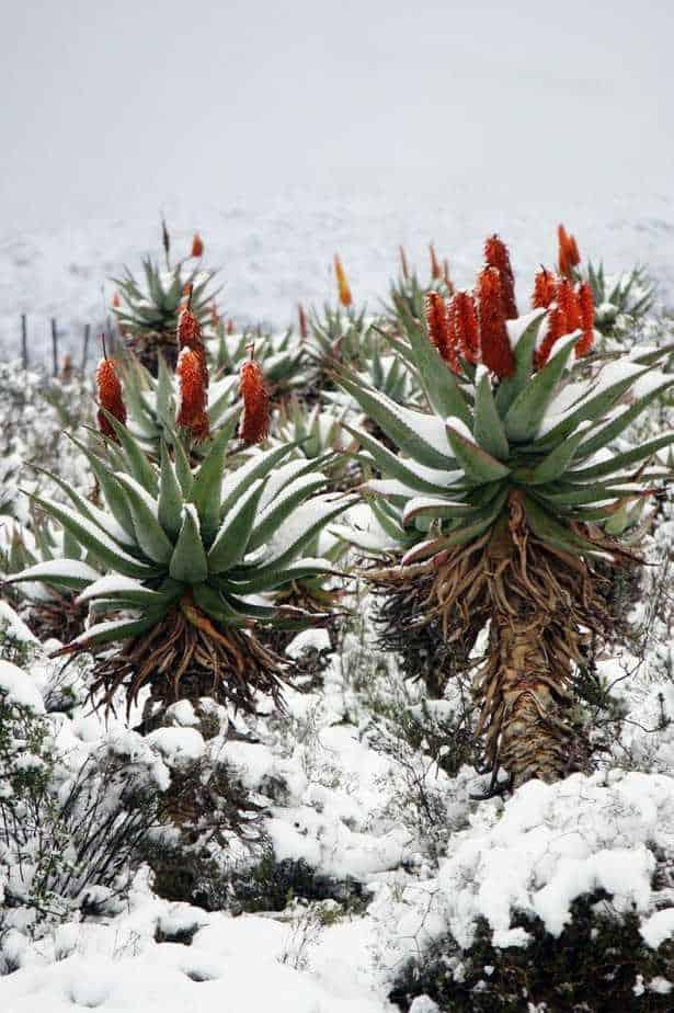 How To Grow Aloe Vera Happy Diy Home