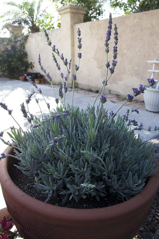 1 Container Lavender