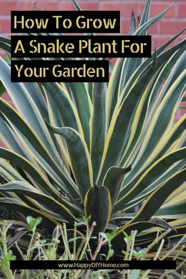 How To Grow A Snake Plant For Your Garden Happy Diy Home