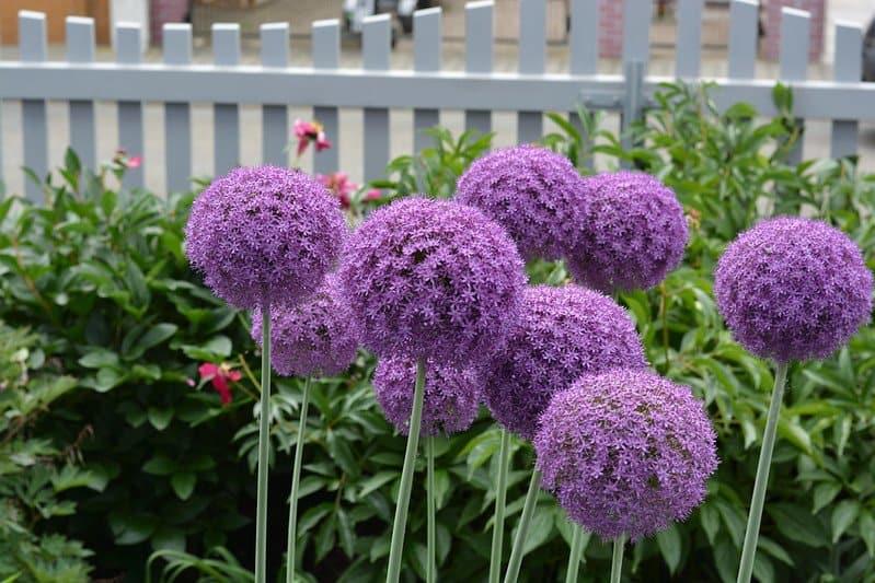 3 Allium Division