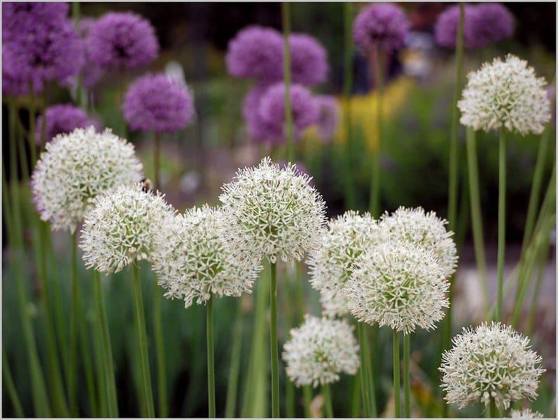 4 Allium Companion Plants