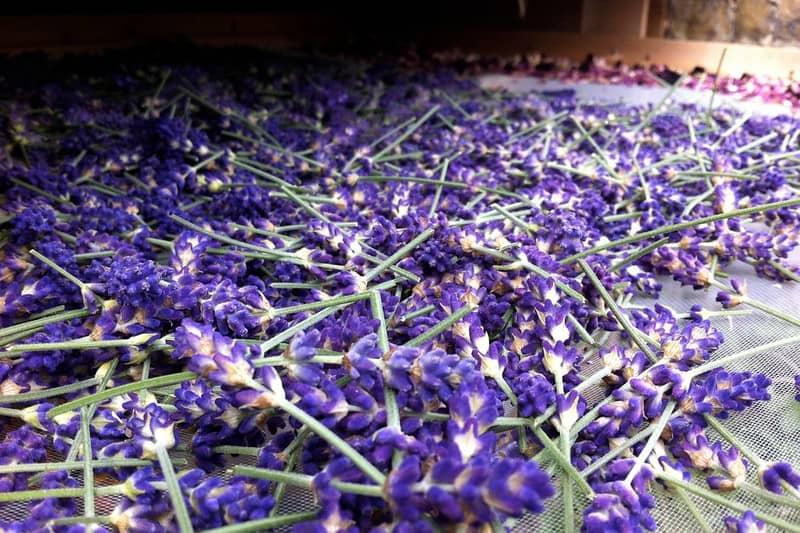 4 Lavender FAQ
