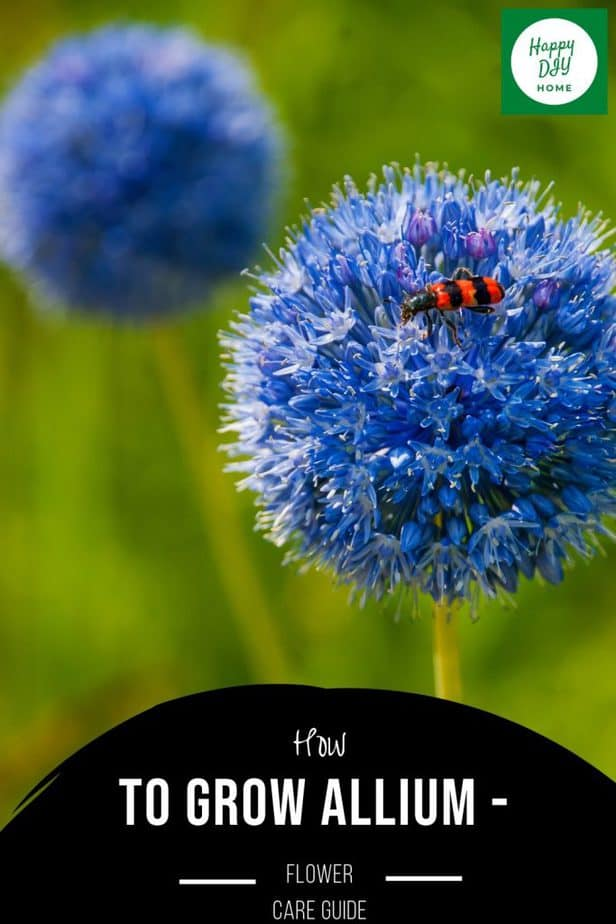 Allium Flower 1