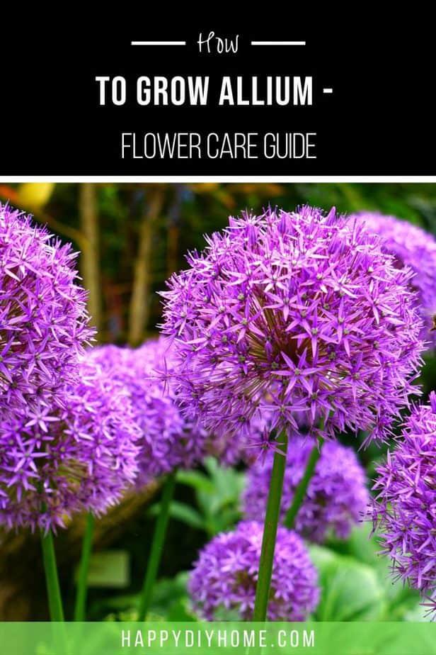 Allium Flower 2