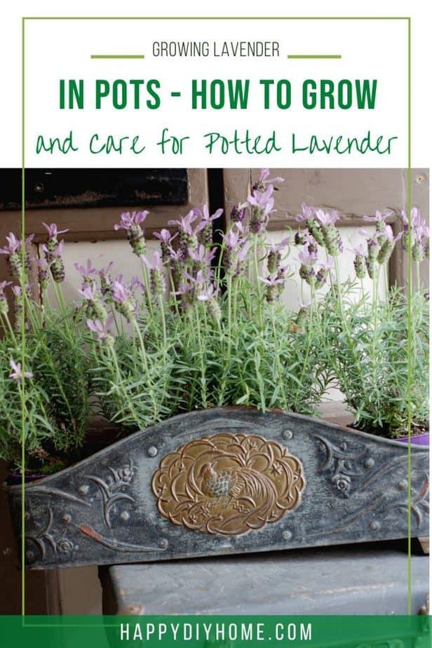 Growing Lavender 1