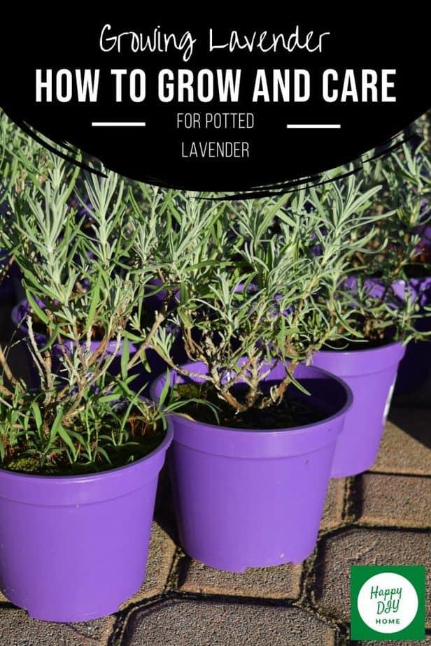 Growing Lavender 2