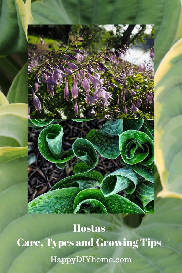 How To Grow And Care For Hostas Happy Diy Home
