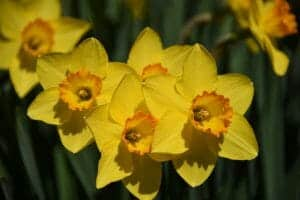 A Complete Guide to Planting Daffodils