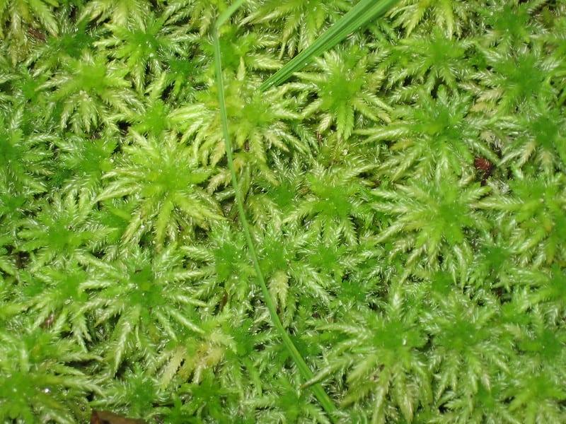 1 Sphagnum Moss