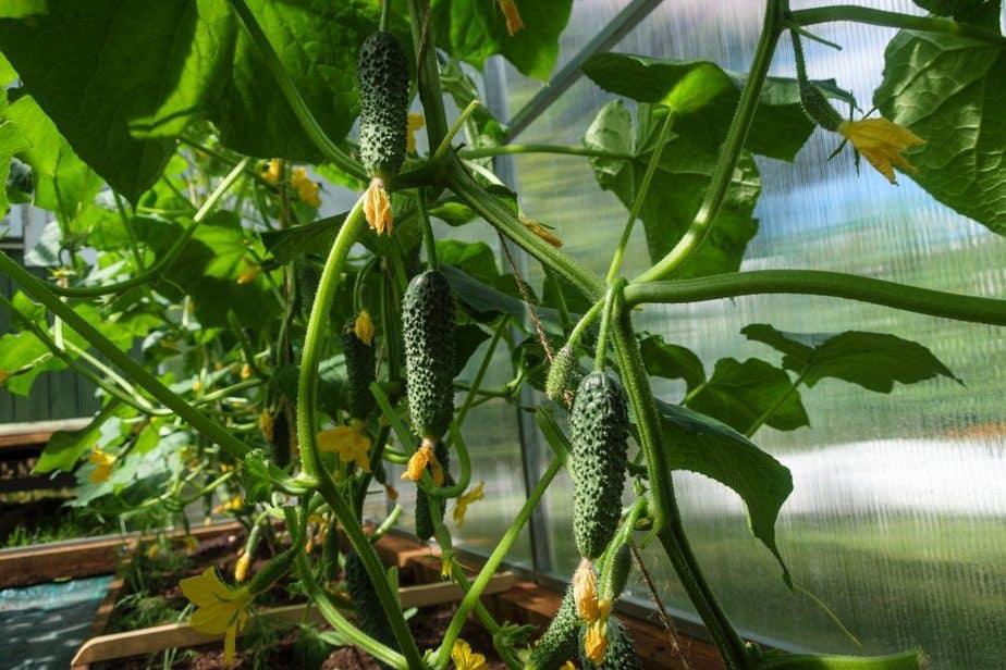 10 Cucumber container gardening