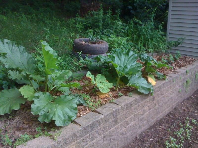 2 Growing Rhubarb