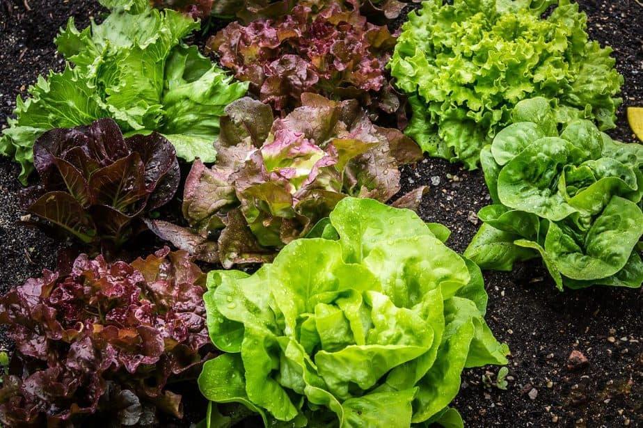 2 Lettuce Varieties