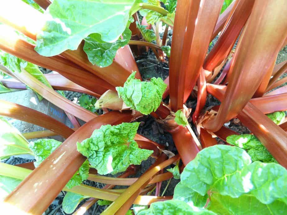 2 Rhubarb Stalks Closeup