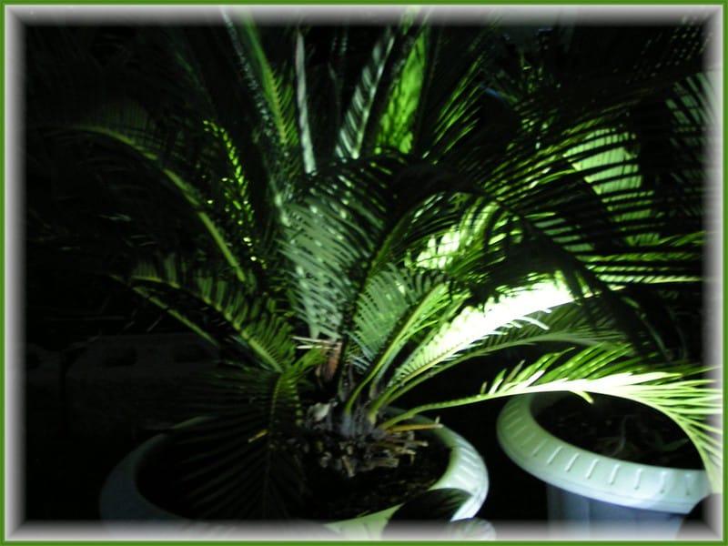 2 Sago Palm
