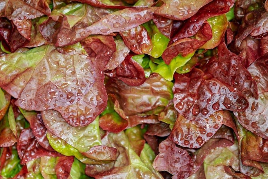 5 Washed Lettuce