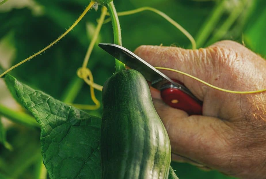 9 Be careful when you harvest not to damage surrounding vines or younger fruit