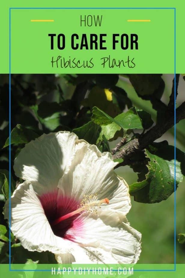 Hibsicus Plants 1
