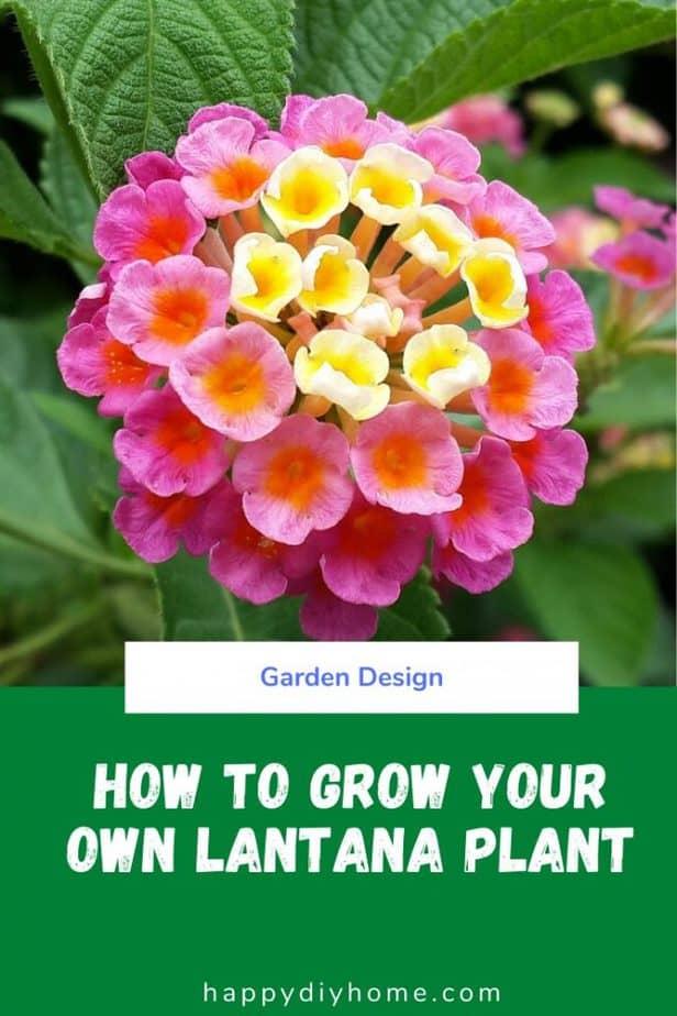 Lantana Plant Cover Image