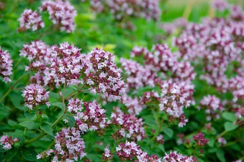 1 Oregano Flowers