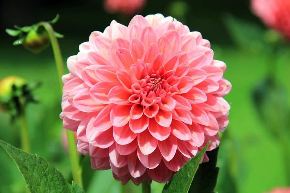 1 Pink Dahlia