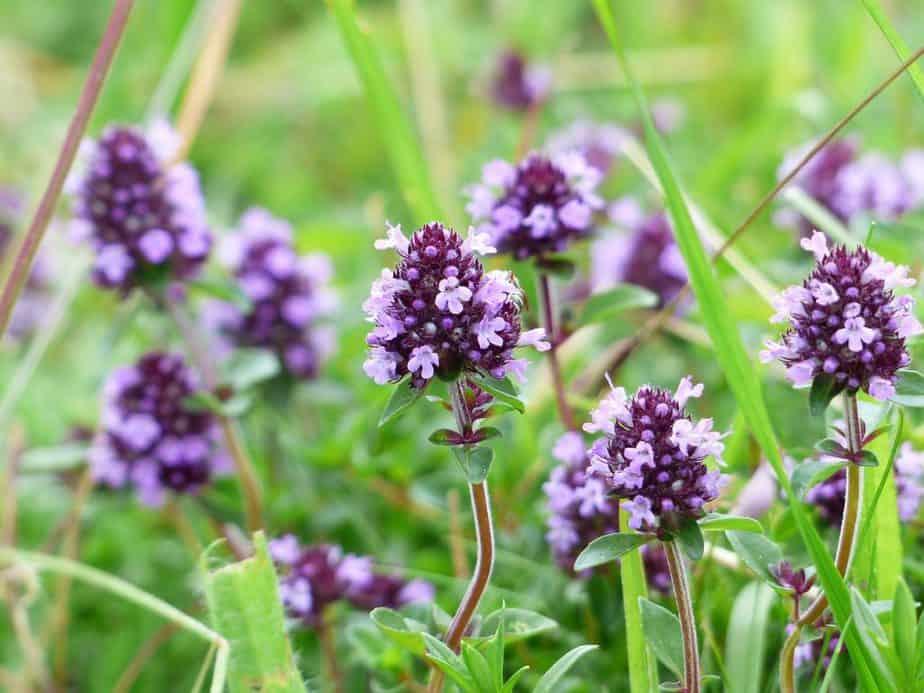 1 Thyme Flowers