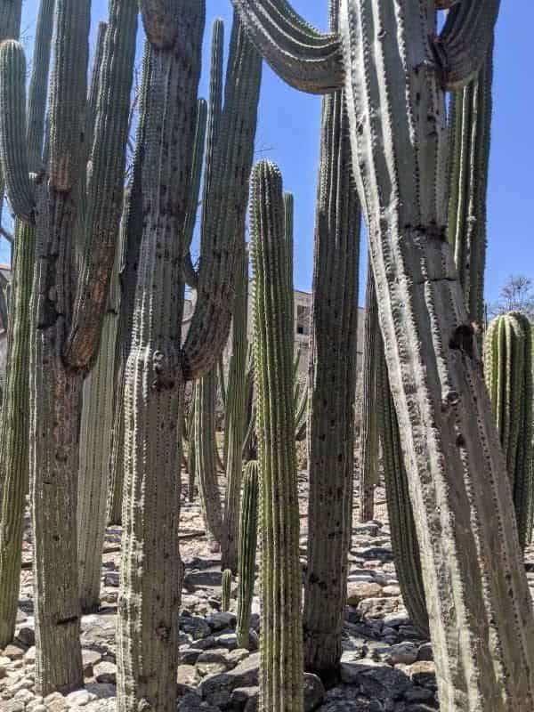 11. Saguaros