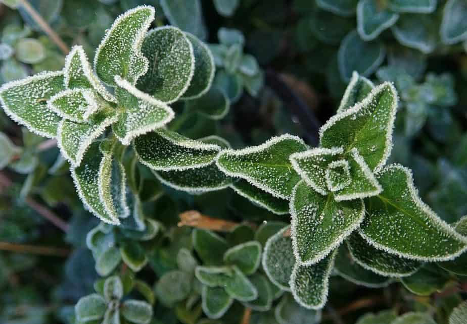 2 Frosted Oregano