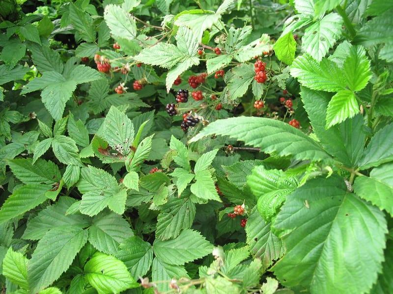 3 Planting Blackberry Bushes