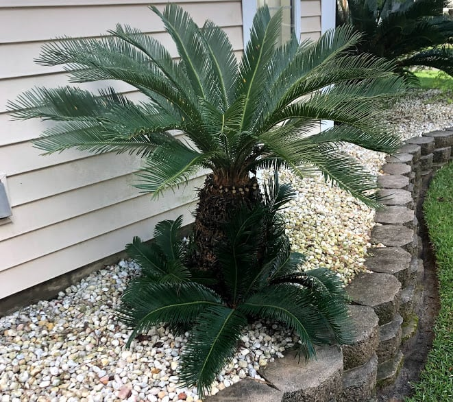 3 The pups on the sago palm