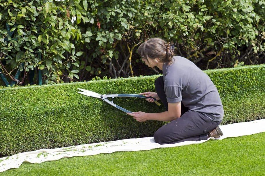 4 Box plants require regular pruning