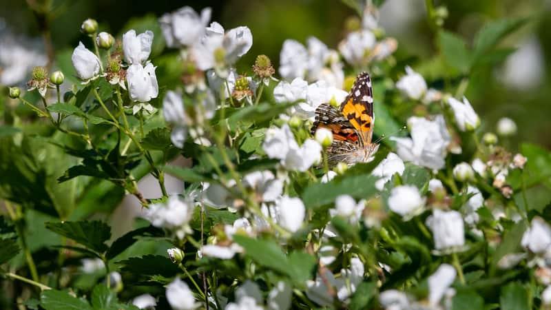 4 Flowering Blackberry Bush