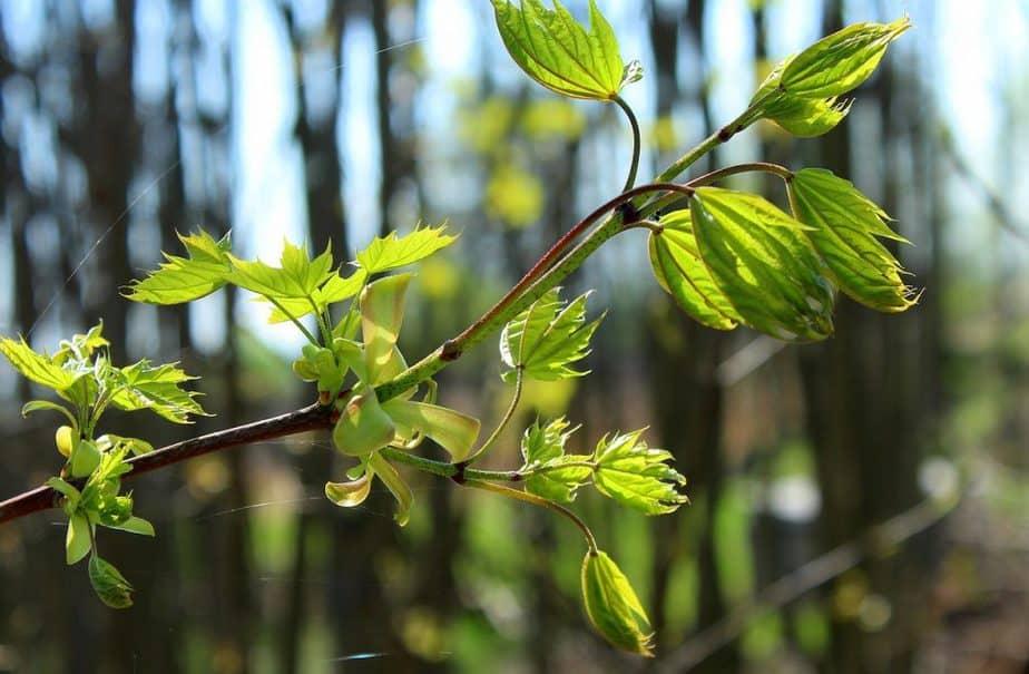 4 Sapling Branch