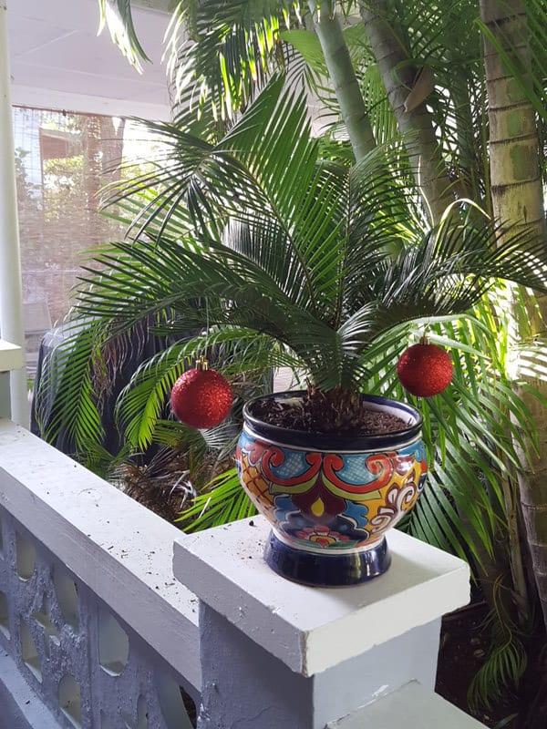 5 Container Sago Palm