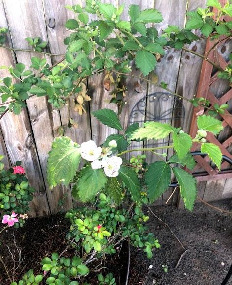 5 flowering blackberry bush that will turn into blackberries