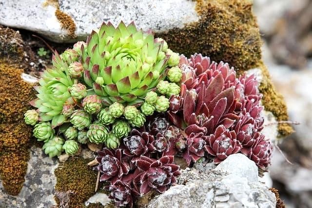 6 Cacti in Rocks