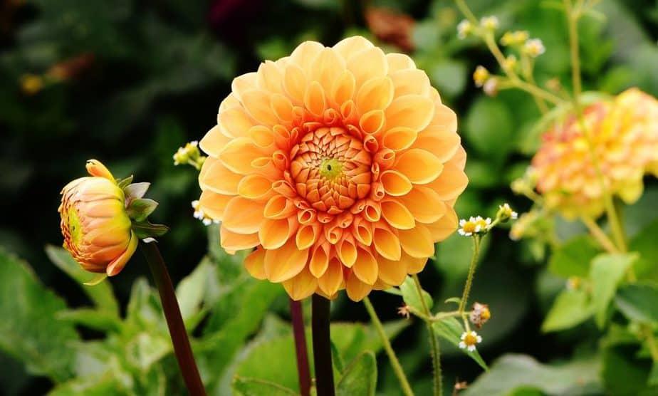 7 Orange Dahlia
