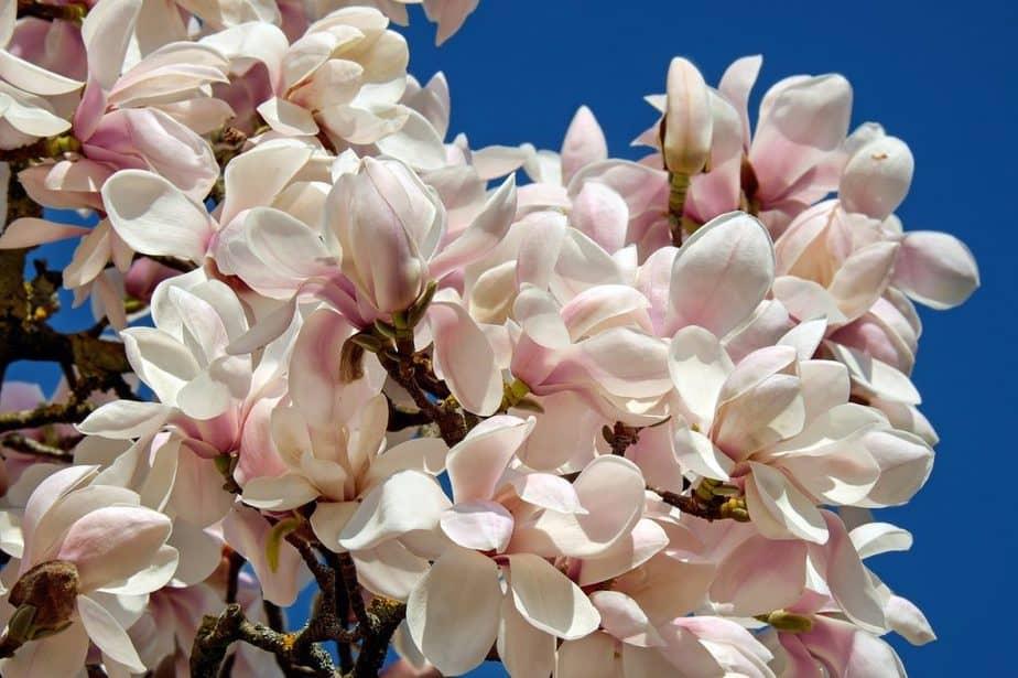 8 Magnolia