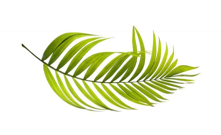 8. Palm leaf
