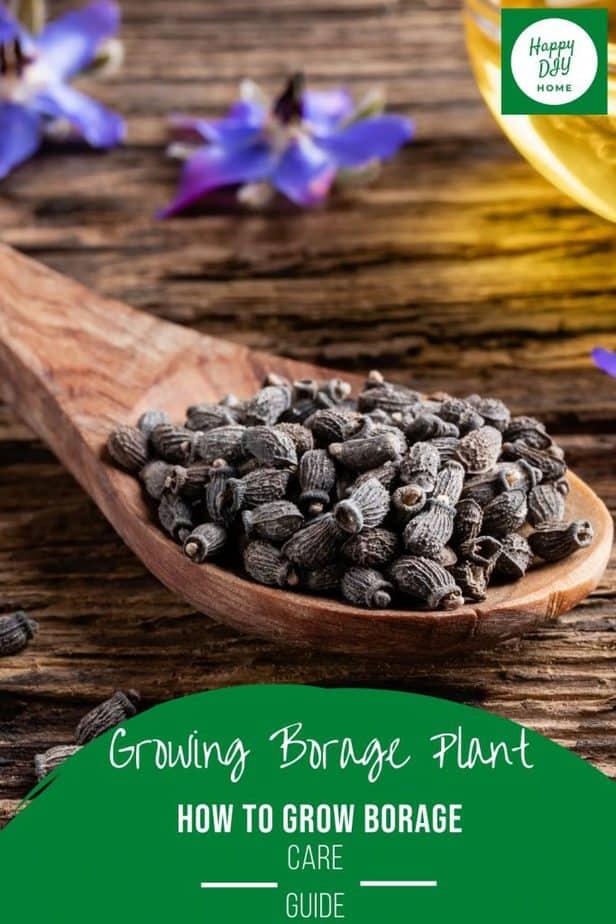 Growing Borage Plant 2