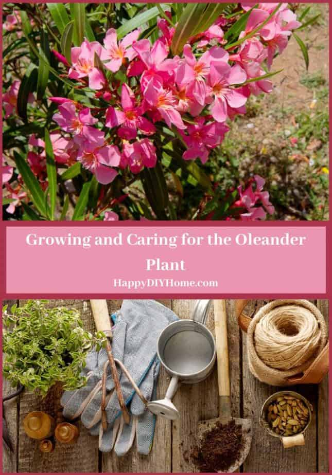 Growing and Caring for the Oleander Plant Cover