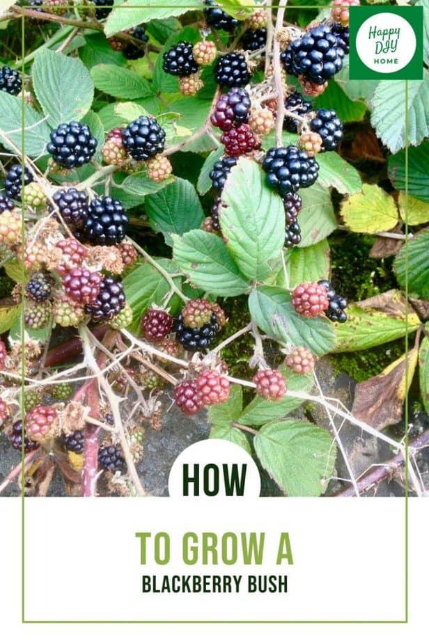 How to Grow a Blackberry Bush 1