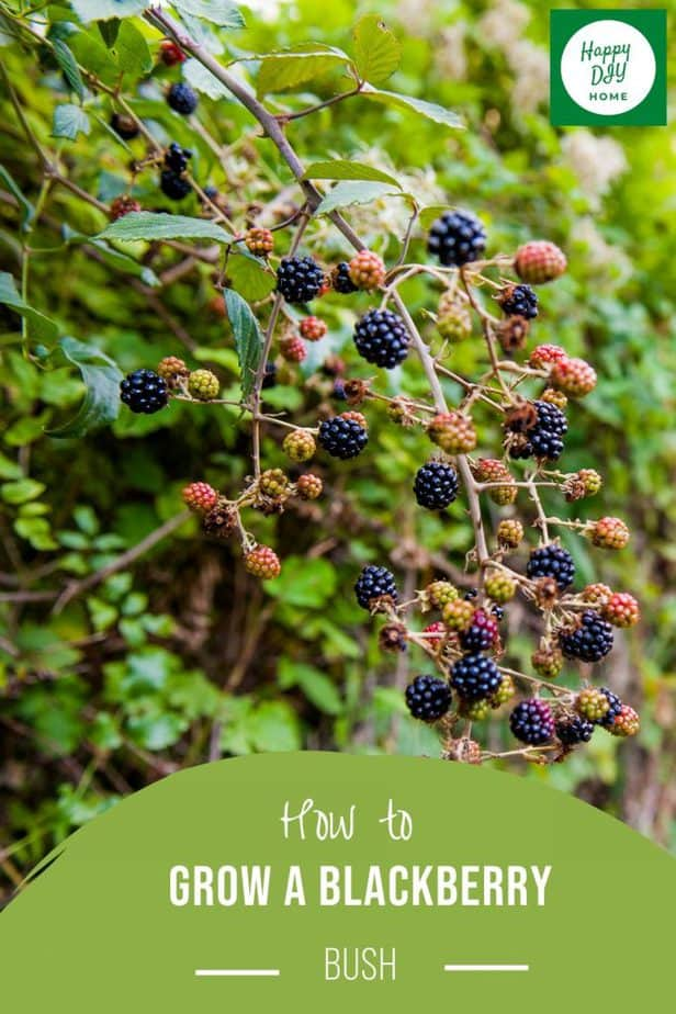 How to Grow a Blackberry Bush 2
