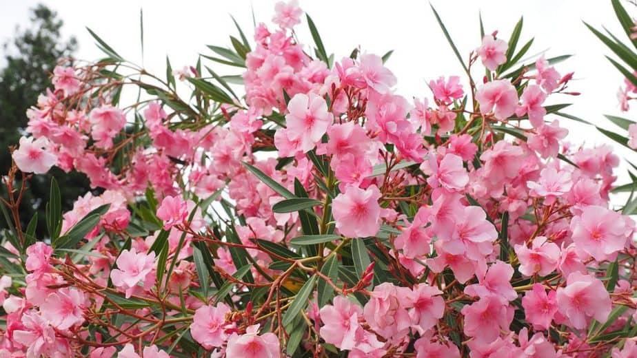Oleander 1 Flower Clusters