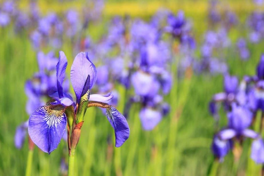 Planting Zones 6 Iris