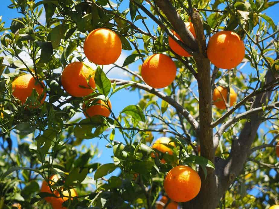 Planting Zones 8 Citrus
