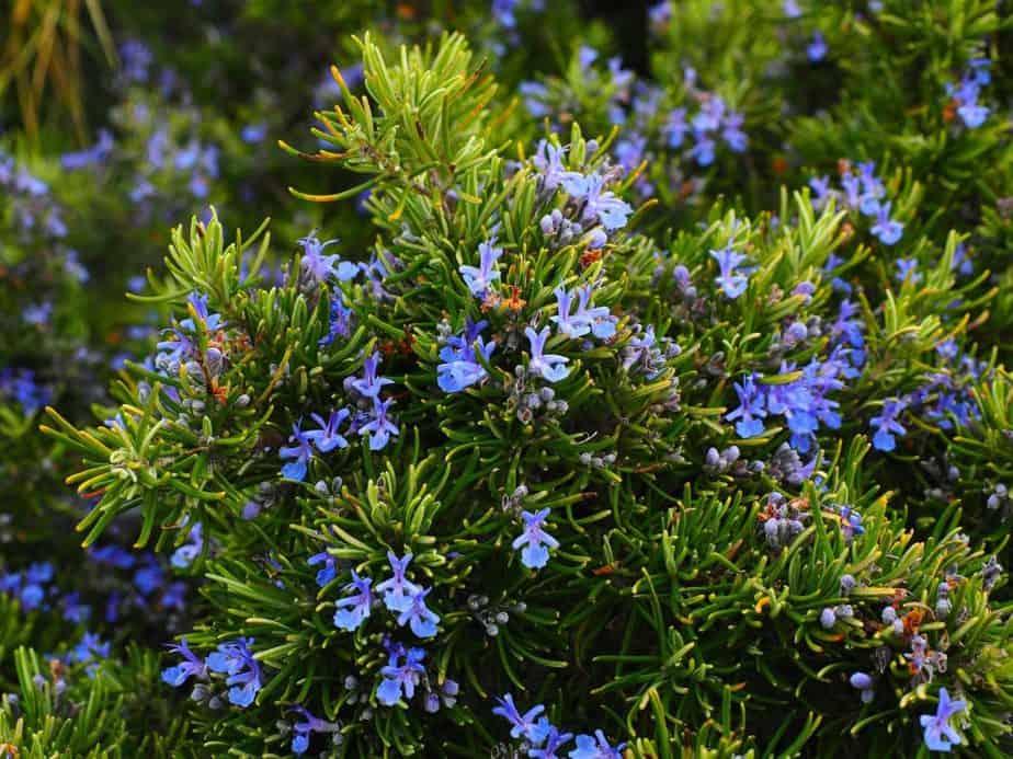 Repel Ticks 1 Rosemary
